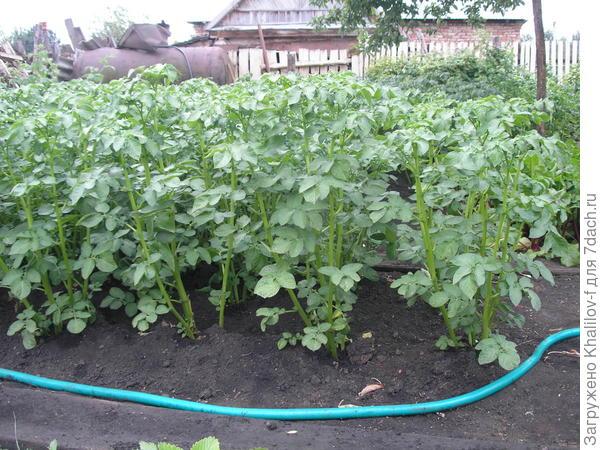 Вот так растёт картофель Адретта - высокой, стоячей ботвой.