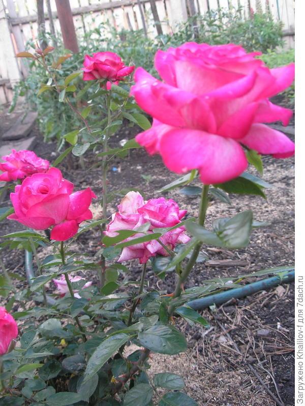 Болгарская роза, приехала в Татарстан из города Габрово в 1989 году и до сих пор цветёт, спасибо Болгарам..