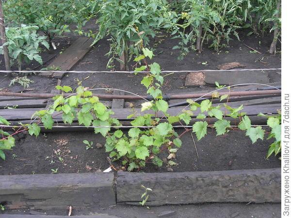 Молодой виноград посаженный весной. Время съемки середина лета.