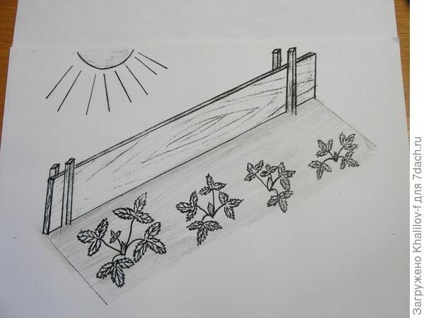 притенение нежных растений молодой земляники от полудённого солнца широкой доской.