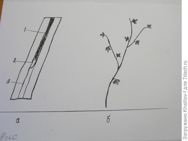 Побег, поврежденный стеклянницей. 1) поврежденная сердцевина, 2) сама личинка, 3) не поврежденная часть сердцевины. б) Вид поврежденной стеклянницей ветки.