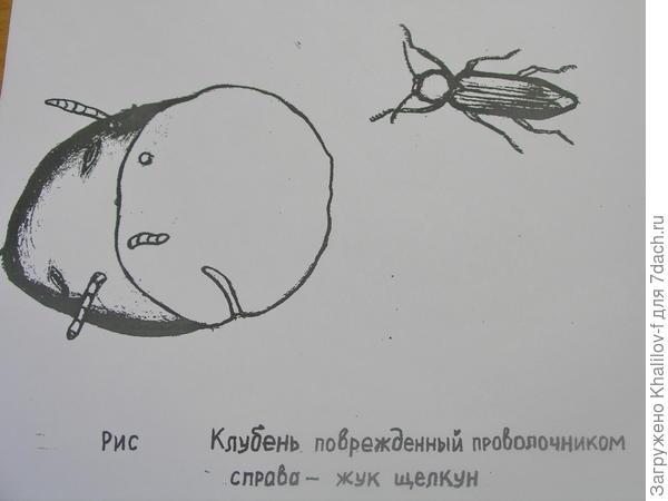 Жук-щелкун и проволочники на картофеле