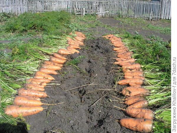 Выкопанная морковь на грядке на просушке.