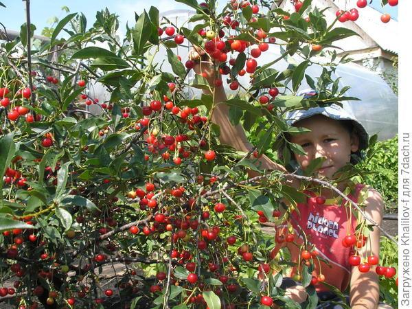 Кустовая вишня сорта Маяк.