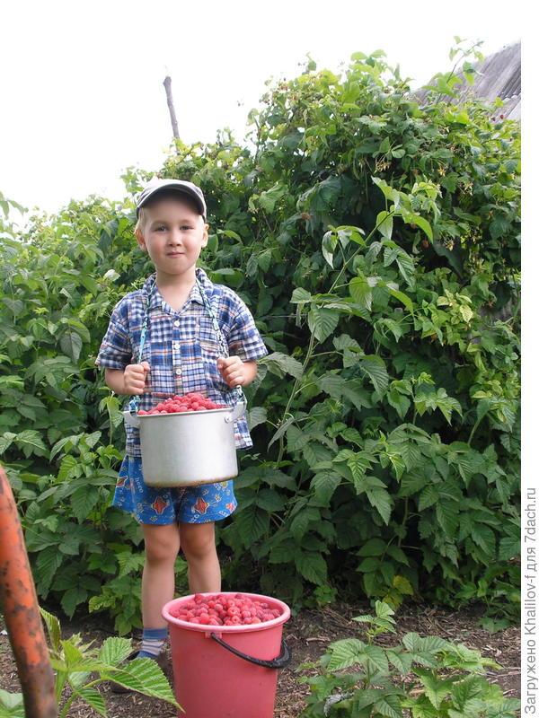 Ряд малины Новость Кузьмина. Внук Артём и дед собрали урожай, а их предстоит собирать еще 3-4 раза.