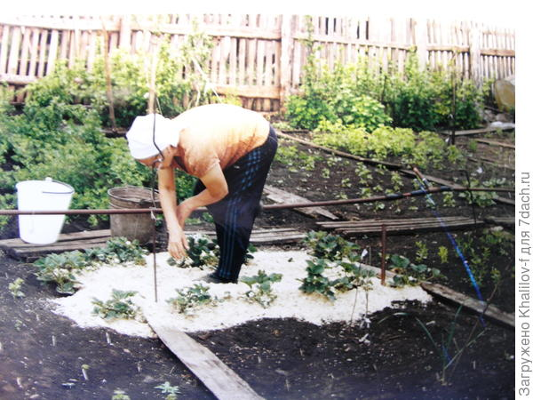 Землянику мульчируем чистыми свежими опилками, чтобы во время дождя и поливов не пачкались ягоды.