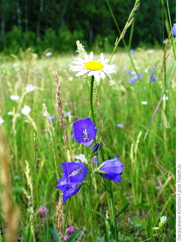 Цветок Макарову.