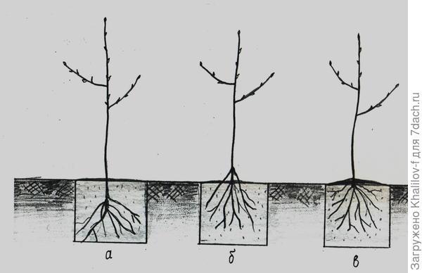 а) Дерево посажено не правильно - очень глубоко; б) Не правильно - корни наружу; в) Правильно - засыпано только корневая шейка.