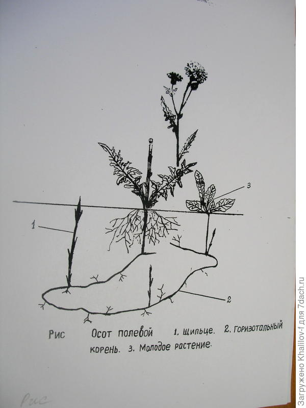 Вот для примера строение осота,однотипного сорняка с хвощём.