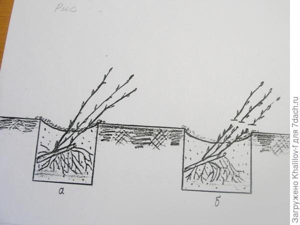 Посадка смородины. а) без обрезки побегов, б) с обрезкой побегов.