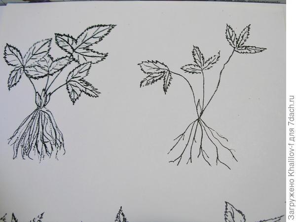 Слева розетка земляники пригодная к посадке: мощная корневая система и  хорошо развитые листья. Справа слабая, не пригодная к посадке розетка.