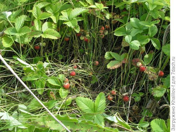 Вот открыл место где верхний снимок. Появляются ягоды и собираем. Собрали - дальше открываем