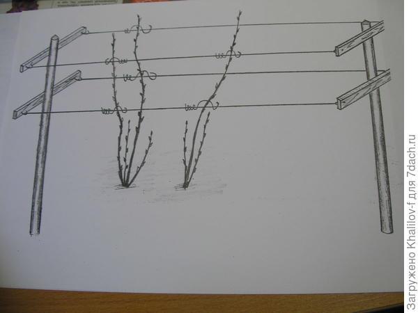 Схема шпалеры для малины.