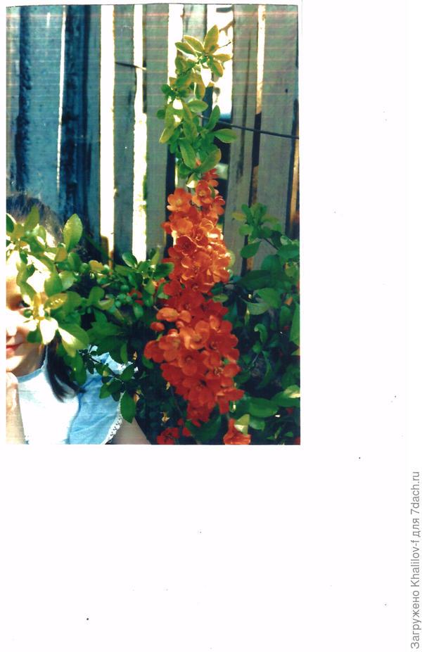 Цветёт айва японская.