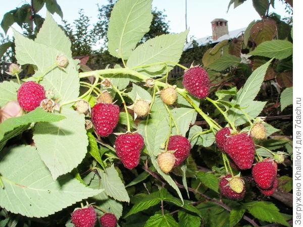 Геракл. Одновременно и цветы, и только что образовавшиеся ягоды и краснеющие и спелые и такая картина примерно до 5-10 октября.