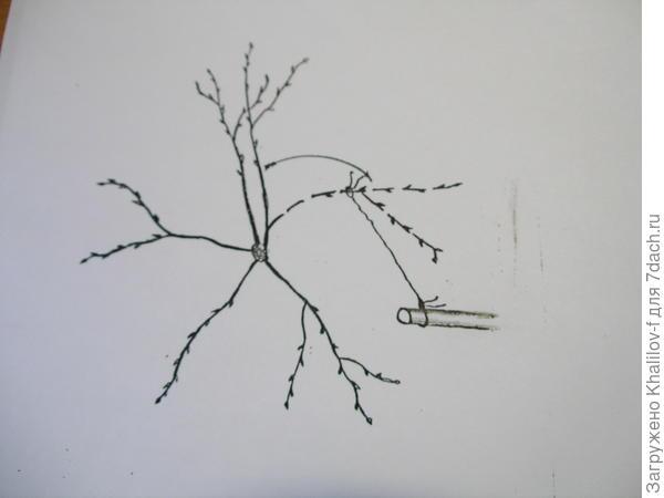 Перемещение ветки с густо растущей части кроны на пустующий участок (вид на яблоню сверху).)