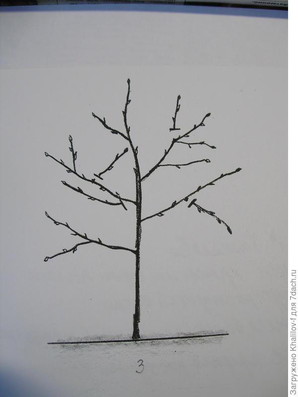 дальнейшее формирование 2-3 летней яблони: удаление веток направленных внутрь кроны, растущих непосредственно одна под другой