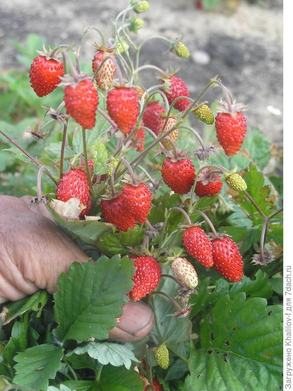 Ремонтантная безусая земляника. Она все лето такая: и цветы и растущие и краснеющие и спелые ягоды одновременно и обильно.
