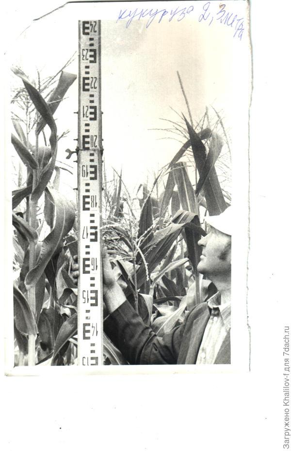 Фрагмент делянки с посевами кукурузы. Высота растений на делянках с программированным внесением удобрений доходила до 2,5 м.