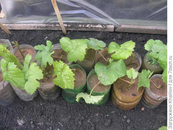 Зелёные черенки винограда срезаны в начале цветения и посажены в обрезанные бутылки-полторашки. Так они сидят под парничком.