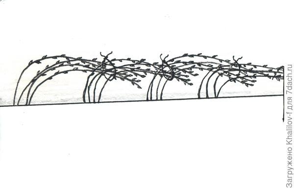 Схема-рисунок пригибания малины к зиме