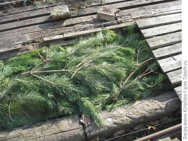 Укрытие на зиму сосновым лапником
