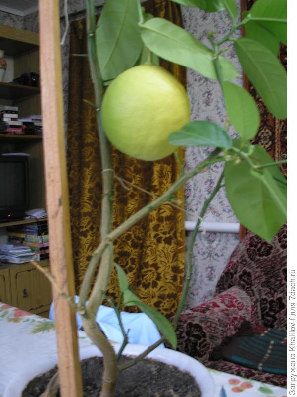 Комнатный лимон.