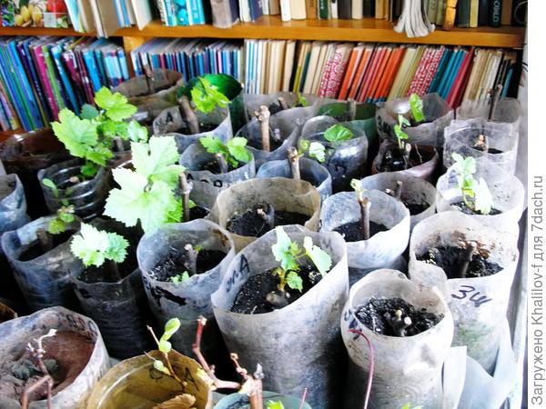 Март месяц, черенки винограда оживают.