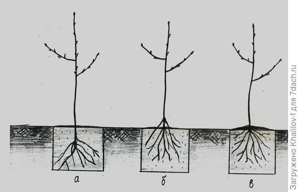 ошибки при посадке дерева: а) не правильно, корневая система сильно заглублена, с годами дерево погибнет, б) не правильно, дерево посажено высоко корни наружу, дерево будет страдать.в) дерево посажено правильно.