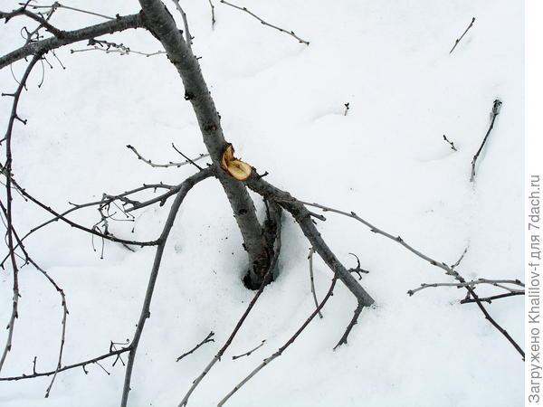 При весеннем оседании снег выдернул ветку со ствола.