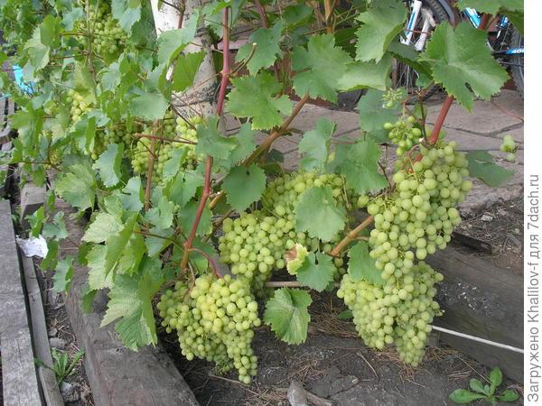 Виноград сорта Алёшенькин
