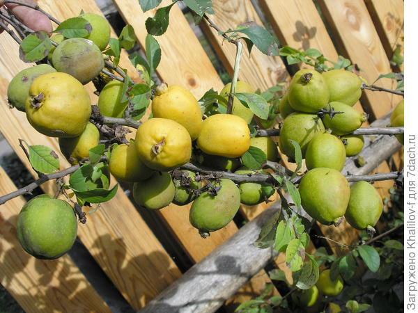 Плоды айвы японской.