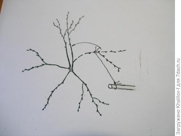 (вид сверху). Исправление кроны. Заполняем пустующую часть кроны, притягивая ветку с густо растущей части.