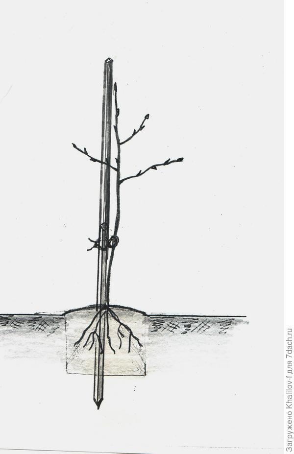 Правильная посадка. Сначала забит высокий колышек. Саженец на выпуклости. Заглублена на 2-3 см только корневая система.