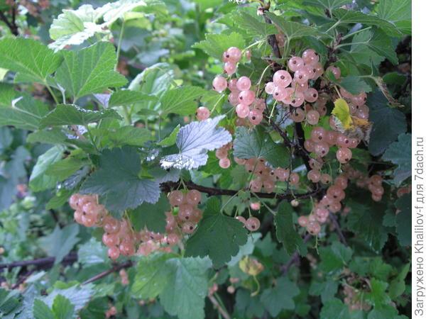 Розовая смородина Голландская розовая.