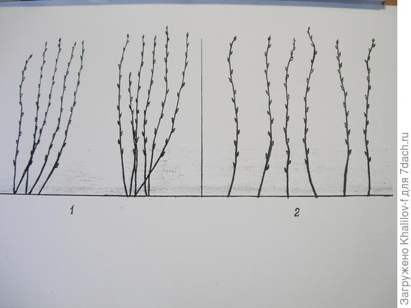 Слева №1 формирование малины кустами, а справа (№2), формирование равномерно полосой.