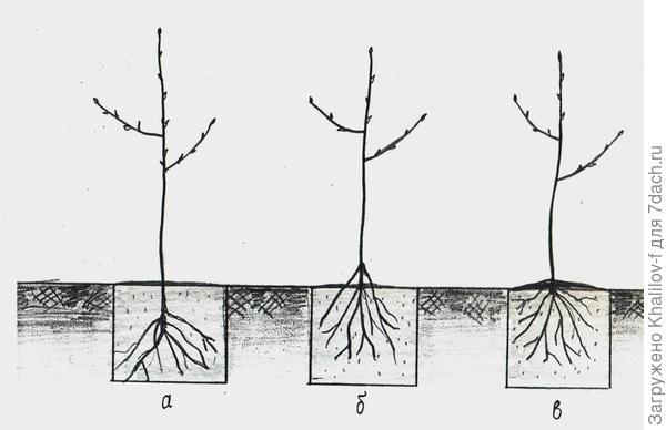а) не правильно - сильно закопано; б) не правильно - корни оголены;  в) правильная посадка.