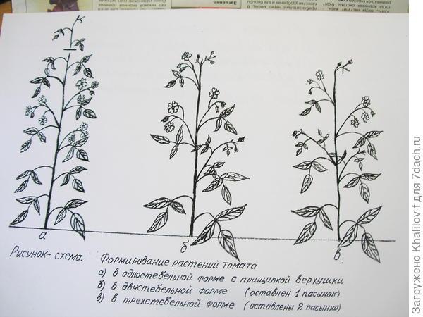 Вершкование томата и формирование в один стебель (рис слева.)