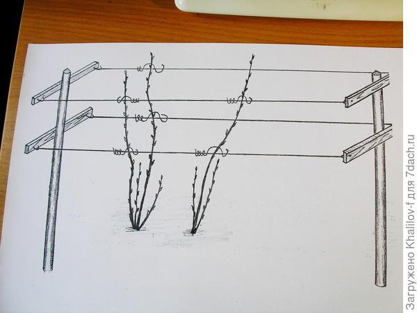 Шпалеры (схема.)