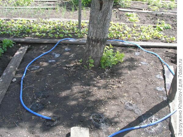 разложил по кругу вокруг ствола яблони, идет равномерный полив яблони.