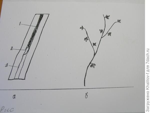 Стеклянница. Гусеница внутри побега  и слабое развитие поврежденного стеклянницей побега.