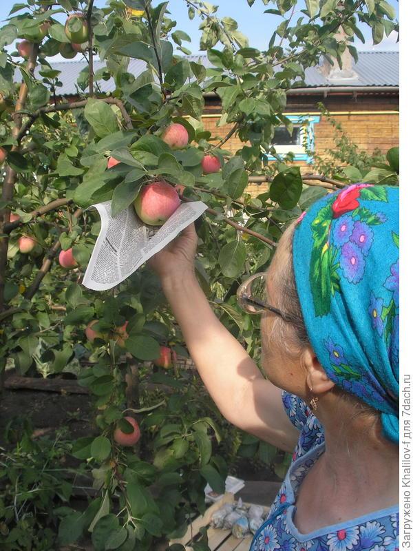 Собираем яблоки для зимнего хранения.