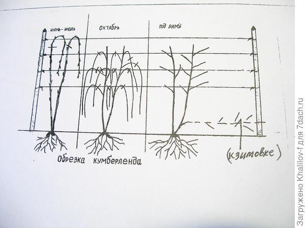 формирование кумберленда и ежевики