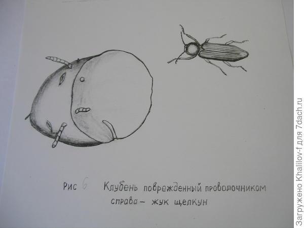 Проволочники и взрослое насекомое.