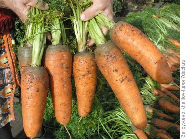Морковь Шантанэ улучшенная