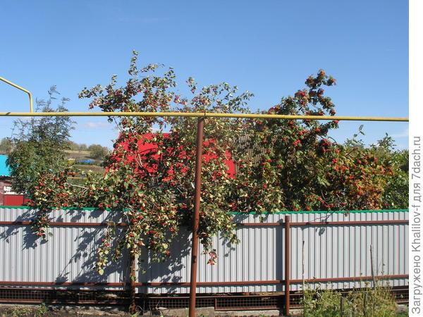 Боярышник Кроваво-красный в сельском палисаде среди рябин.