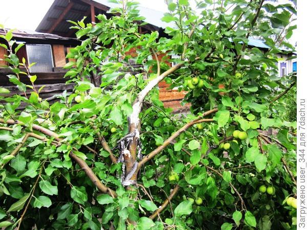 Сломанное ветром дерево ранета.