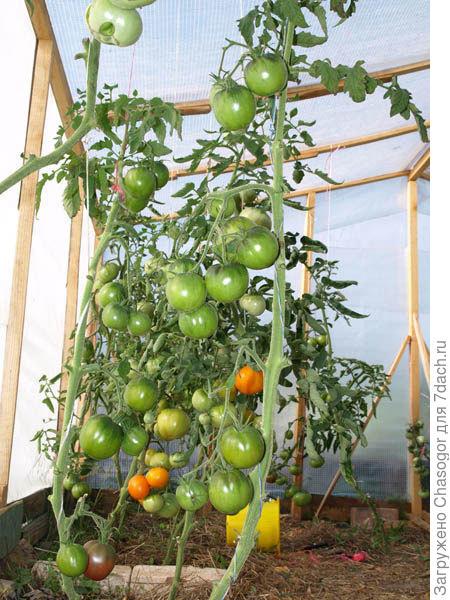 сентябрь, томаты ещё растут