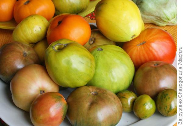 бурые помидоры на переработку