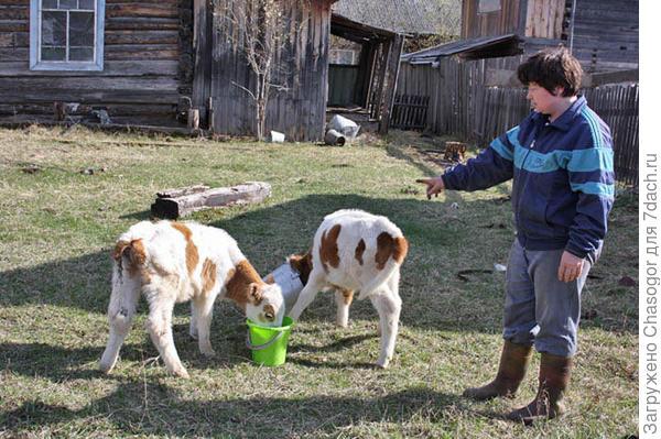 Анна с телятами